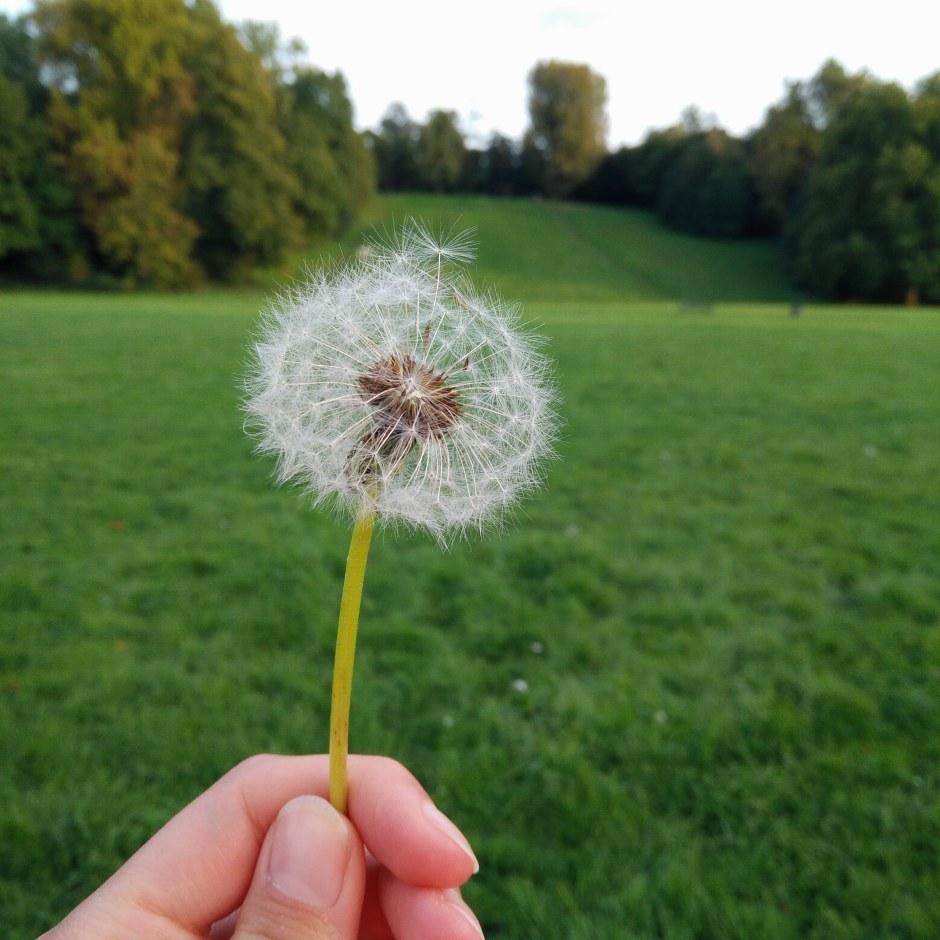 Dandelion in a park
